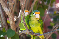 Two Parakeets in a Tree Royalty Free Stock Images