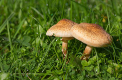 Two parasol mushroom in the grass Stock Image