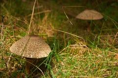 Parasol mushroom Macrolepiota procera or Lepiota procera. Two parasol mushrooms Macrolepiota procera or Lepiota procera growing in grass Royalty Free Stock Images