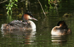 Two parent Great Crested Grebe Podiceps cristatus one has four babies on its back on a stream. Stock Images