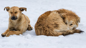 Two pariah dogs on snow. Two cute red or ginger stray dogs canis familiaris on a white snow in cold winter weather. The issue of stray animals in the big city Royalty Free Stock Photography