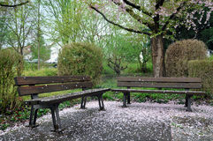 Two park benches covered with pink petals. Royalty Free Stock Image