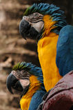 Two parrot Royalty Free Stock Images