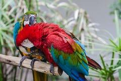 Two Parrot Birds Necking stock photos