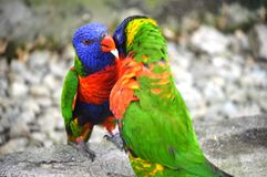 TWO PARROT royalty free stock photo