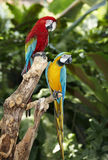Two parrot in green rainforest. Outdoor Royalty Free Stock Photography