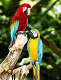 Two parrot in green rainforest.