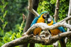 Two parrot pecking each other on branch of tree. Two parrot pecking each other while perching on branch of tree stock photos