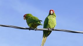 Two Parrot standing and playing. At telephone pole stock video