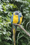 Two parrots. Sitting and people watching Royalty Free Stock Image