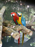Two Parrots. One red and one blue, yellow and green parrot sitting on a log in a pond Stock Photos