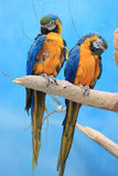 Two parrots. Sitting on the branch Royalty Free Stock Image