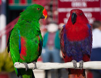 Two parrots royalty free stock image
