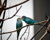 Two parrots. On a branch Stock Image