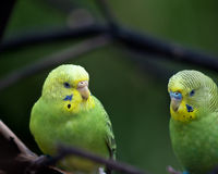 Two parrots. On a branch Royalty Free Stock Photography