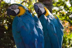 Two Parrots. Looking over their shoulders Royalty Free Stock Photos