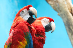 Two parrots royalty free stock photos