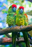 Two Parrots. Two colorful parrots perched on a tree branch Royalty Free Stock Photo