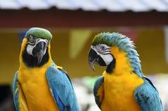 Two parrots Stock Photos