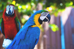 Two parrots. Two macaw parrots together on perch royalty free stock photo