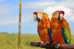 Two parrots. Sitting together in the nature royalty free stock photo