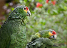 Two parrots. Two green parrots couple zoo colorful image Royalty Free Stock Images