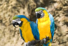 Two parrots Stock Photos