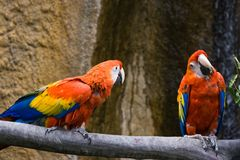 Two parrots bickering Royalty Free Stock Images