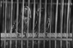Two parrots in a birdcage stock video footage