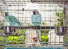 Two parrots in a birdcage Royalty Free Stock Image