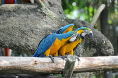 Two Parrots birds Stock Image