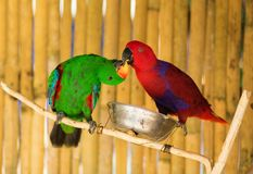 Two parrots on a branch. Kissing royalty free stock photo