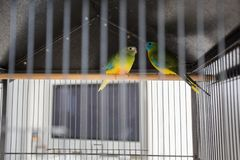 Two Parrots In The Cage, colorful love birds, pets. Animal royalty free stock photo