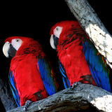 Two parrots closeup Stock Photography