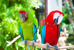 Two parrots cockatoo royalty free stock photos