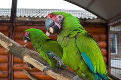 Two parrots contend for a bagel Stock Photography