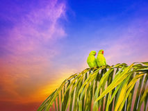 Two parrots couple sitting on palm tree in the evening time. Parrots couple sitting on palm tree in the evening time Royalty Free Stock Photos