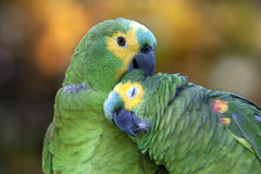 Two Amazon parrots. Couple of Amazon parrots grooming each other Royalty Free Stock Photography