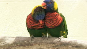 Two parrots cuddling on a branch. Two colorful parrots are cuddling stock video