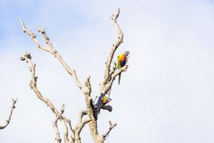 Two Parrots in a dead tree stock photos