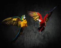 Two parrots fighting. Two colourful parrots fighting during flight royalty free stock image
