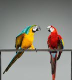 Two parrots fighting Stock Photos