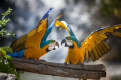 Parrots fighting stock image