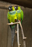 Two parrots. Stock Image