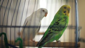 Two parrots, green and white, sitting on percht in cage.  stock footage
