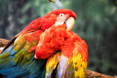 Two parrots grooming Royalty Free Stock Image