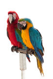 Two parrots isolated on a white Stock Images