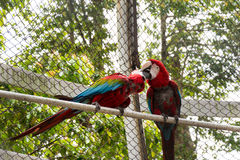 Two parrots kissing royalty free stock photography