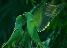 Free Two Parrots Kissing Each Other Stock Photo - 187642780