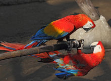 Two parrots Macaw on a bamboo pole Royalty Free Stock Photos